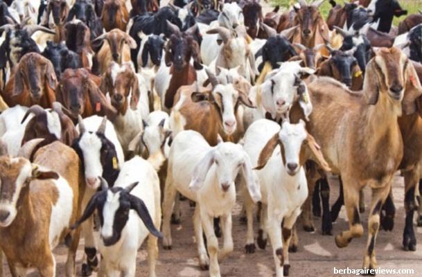 Pengertian kambing dan ciri - ciri kambing - berbagaireview.com