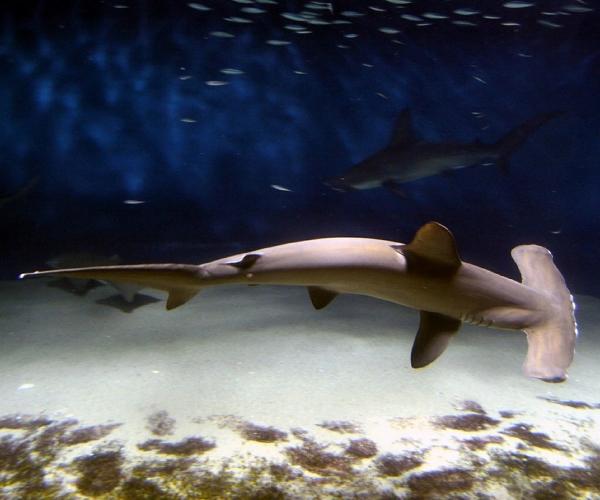 tubarão-martelo-sexto-sentido