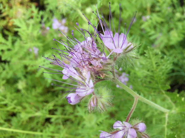 Phacelia blüht lila und zieht viele Bienen an