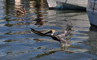 brown pelican flying low over water