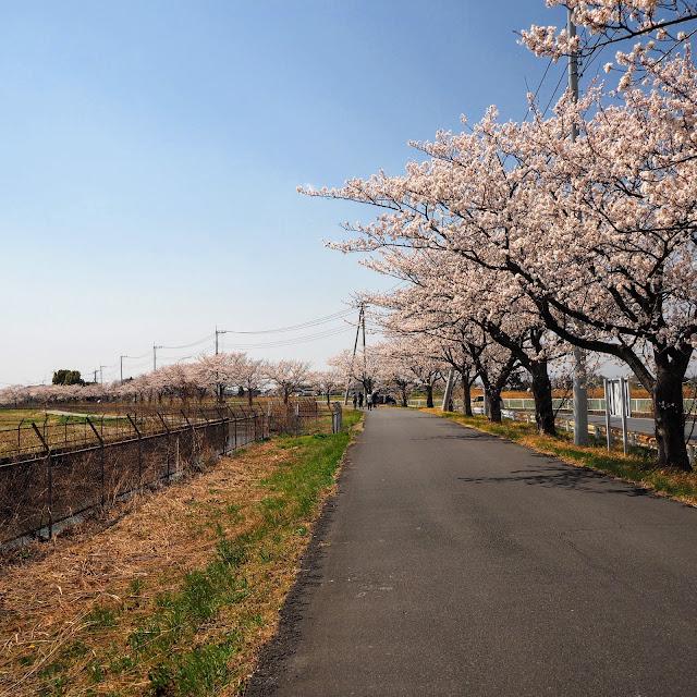 見沼代用水 桜