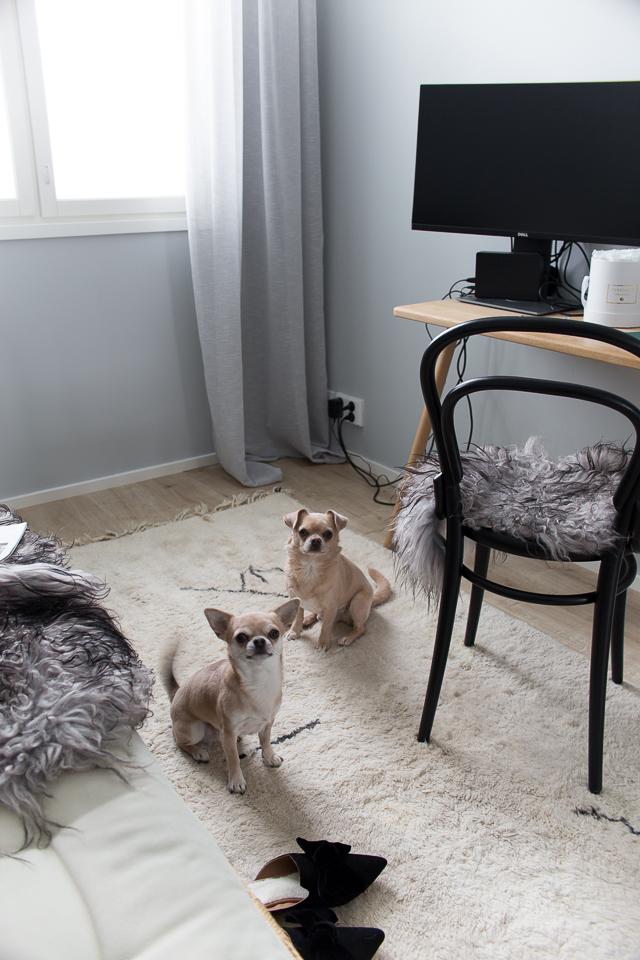 Villa H, koirat, chihuahua, työhuone