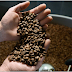Proses Cara Pembuatan Kopi luwak Asli Yang Enak