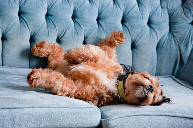 Dogs are not being dominant when they relax on the couch, like this dog rolling around on the settee