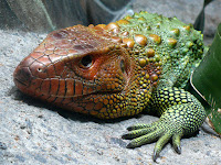 Caiman Lizard Animal Pictures