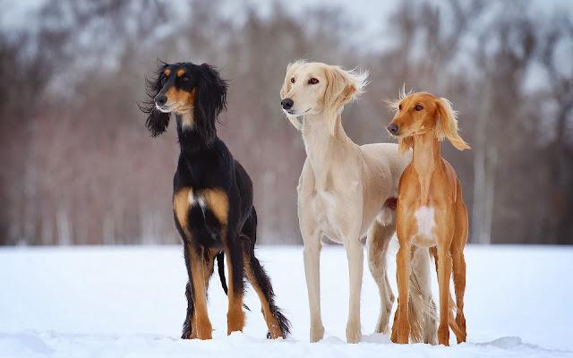 Drie honden buiten in de sneeuw