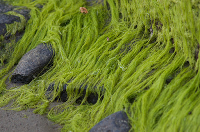 3 Tipe Rumput Laut (Marine Algae)