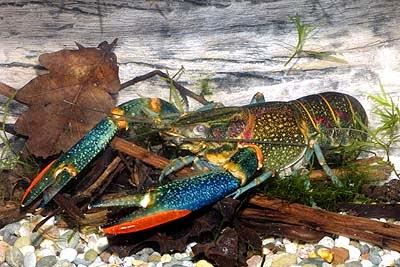 Lobster red claw merupakan jenis lobster yang paling banyak dikembangbiakkan di Indonesia Perbedaan Jantan dan Betina pada Lobster Red Claw (Cherax Quadricarinatus)