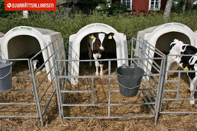 Calves in the milk industry - Rörelse för djurätt