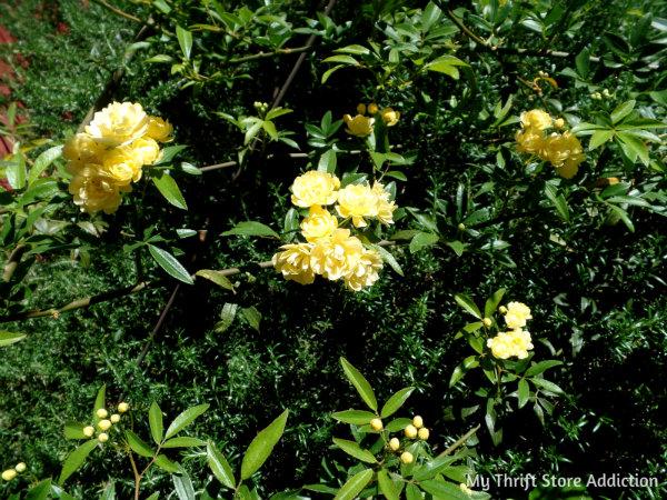 Signs of Spring at Secret Garden Herbs mythriftstoreaddiction.blogspot.com Lady Banks roses in bloom