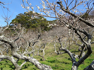 Juniso Orchard Plum Blossom