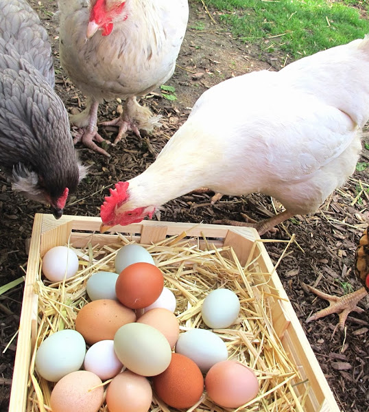 Problems With Laying Hens Modern