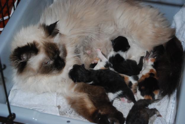 Persian Cat for sale - Manila (Philippines): Persian Cats