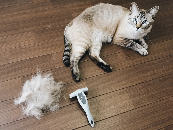 取れた毛と少しスッキリしたシャムトラ猫