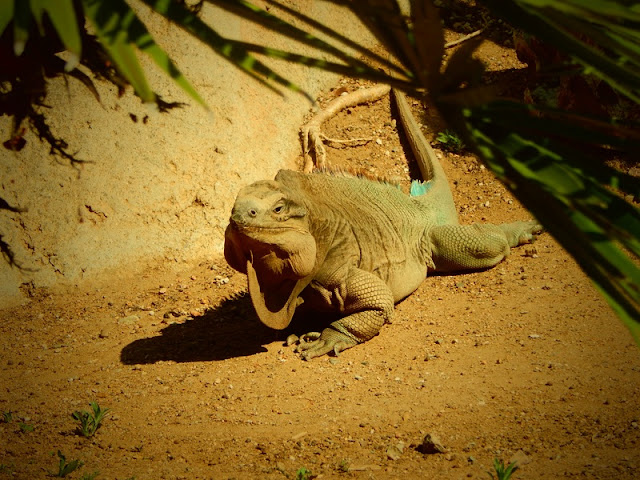 Iguana Posing to Camera