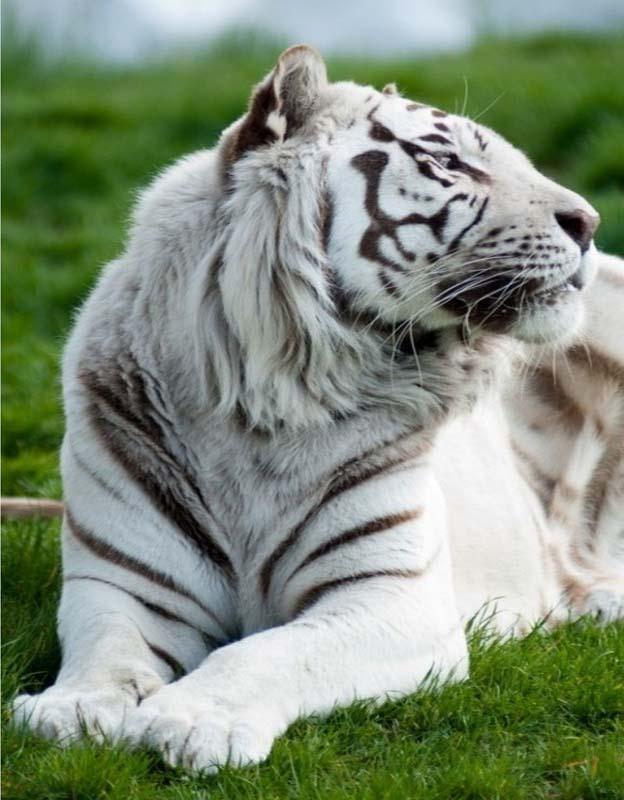 gambar harimau putih