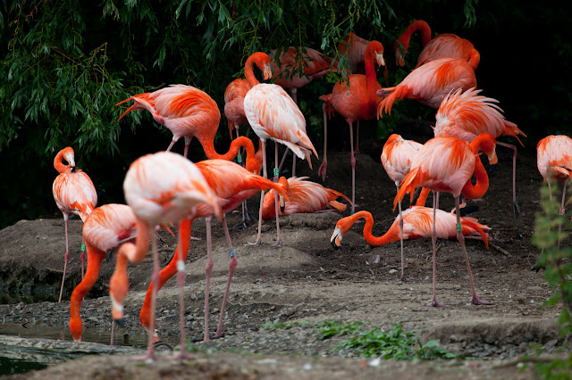 Flamingo facts and information 3