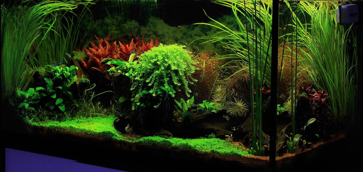 cây rau răm được trồng tiền cảnh cho hồ thủy sinh thêm phong phú
