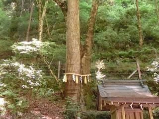 貴船神社:連理の杉