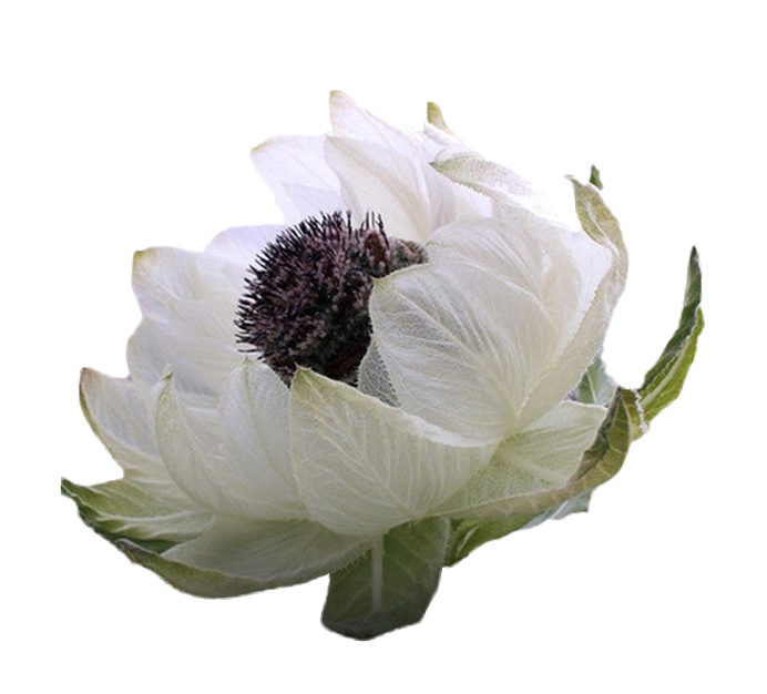 The Benefits Of Snow Lotus For Human Body