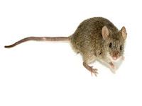 Perbedaan antara Tikus Rat dan Mencit