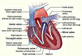 Heart valves have a malfunction, then make regular blood tests, Learn Ectarty Tips