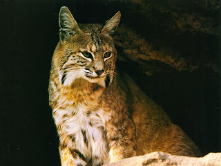 Lynx HD images,