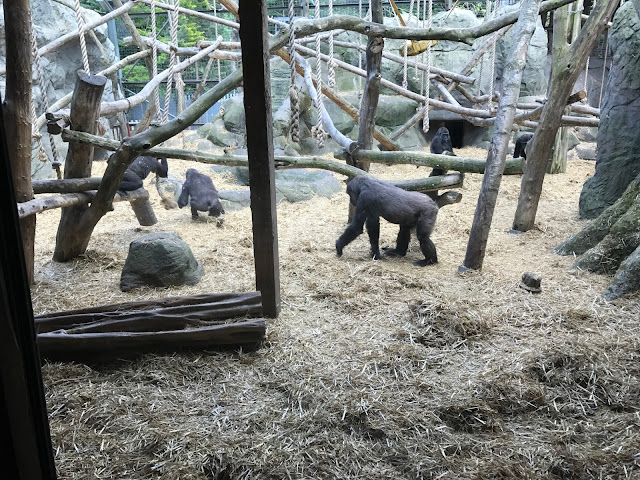 A family of gorillas in their enclosure with lots of straw on the floor and wooden frames to climb