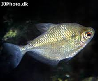 False black tetra, Gymnocorymbus thayeri