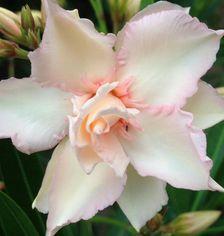 Gambar Bunga Adenium yang Unik dan Cantik 6