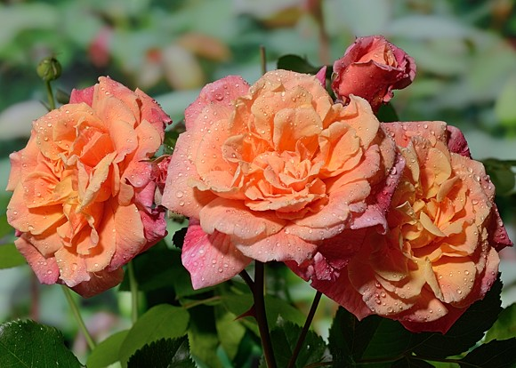 Aloha rose сорт розы фото