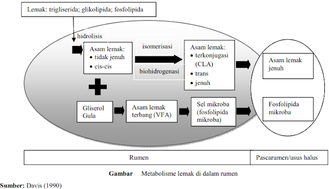 Metabolisme Lemak Pada Ternak Ruminansia