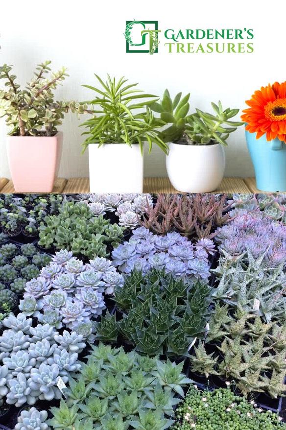 Succulents Online Garden Nursery Adelaide Gardener S Treasures
