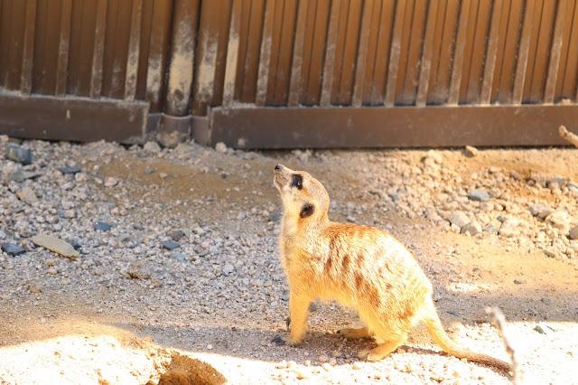 ミーアキャット 広島市安佐動物公園 空を見る