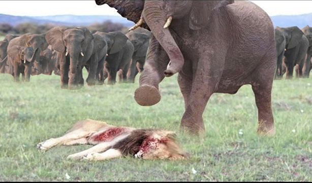 The Battle Between Lion Attack With Elephant That Is King Of Jungle And Vicious Animal Eat Animals As It Food Its Feature Very Strong