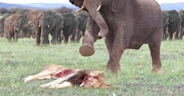 elephant%2Bvs%2Bking%2Blion.jpg