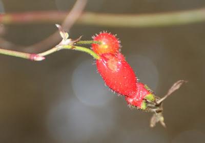 Mandarin or Moyes Rose (Rosa moyesii)?
