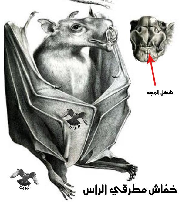 خفاش الفاكهة رأس المطرقة  (Hypsignathus monstrosus)