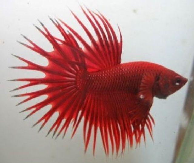 Kriteria Ikan Cupang Hias Berdasarkan Bentuk Sirip