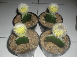 jual kaktus mini untuk souvenir