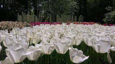 La crisis de los tulipanes ¿Qué es la tulipomanía?