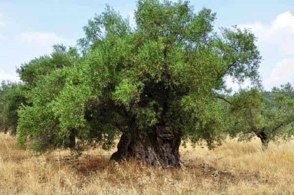 Η Στρεπτή ελιά του Ηρακλή στο Λυγουριό Αργολίδας