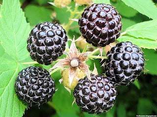 Black raspberry fruit images wallpaper
