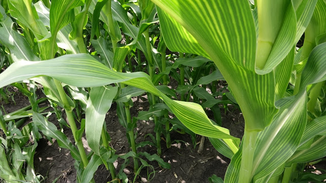sulfur deficient corn