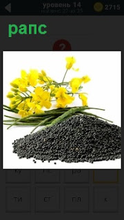 Капуста рапс желтого цвета и семена которые получаются в результате