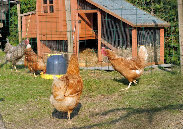 5 Top Chicken Breeds for Small Backyards