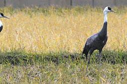 ナベヅル2羽と白鳥5羽を農作業中に発見