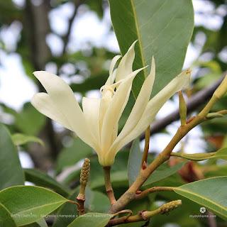 จำปาขาวนครไทย พันธุ์ลูกผสมโดยธรรมชาติของไทย ระหว่าง จำปา กับ จำปีป่า