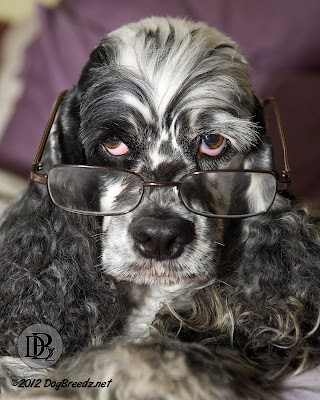 Bennett the Cocker Spaniel puts on his reading glasses and studies for The Big Surprise