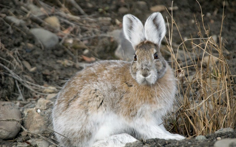 snowshoe hare transition colors